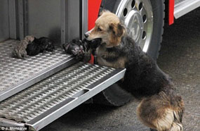 A female dog's act of bravery with her pups