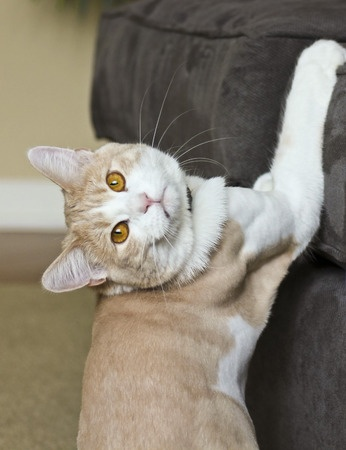 Teaching Cats Not to Scratch Your Furniture