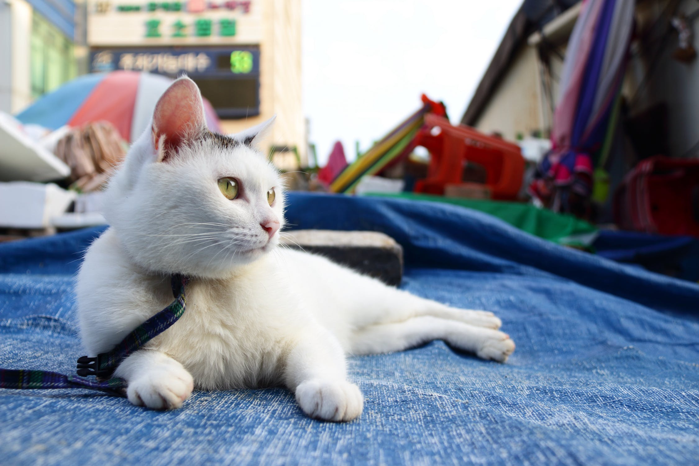 Leash Training for Cats