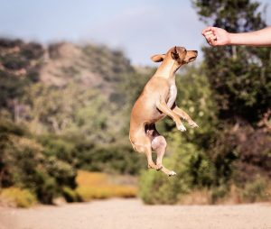 teaching dog a trick with positive reinforcement